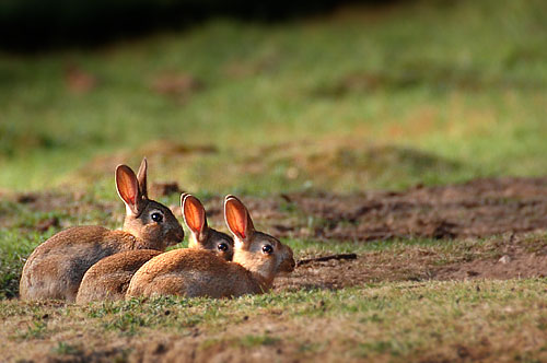 konijntjes